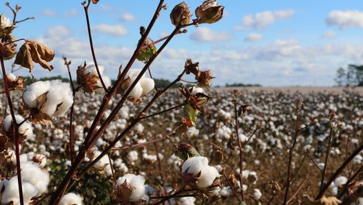 Social impacts of cotton production