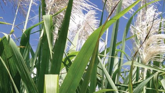 Child labour in the primary production of sugarcane